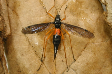 Tanyptera