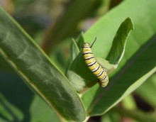 A monarch caterpillar feeds on a milkweed plant at an Iowa State demonstration plot.