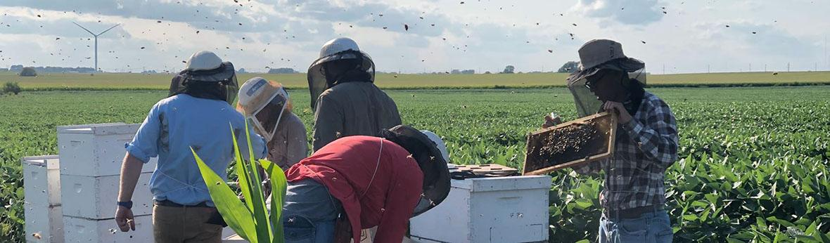 Members of ISU bee team tending beehives in soybean field.