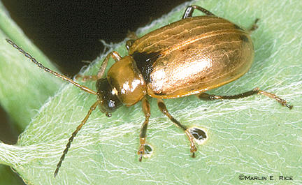 Bean leaf beetle without spots