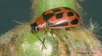 Bean Leaf Beetle (red phase)