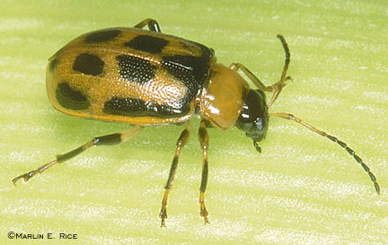 Bean leaf beetle (yellow phase)