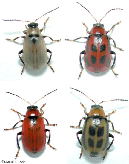 Several color phases of the bean leaf beetle
