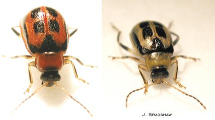 Bean leaf beetle (red phase and yellow phase)