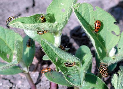 Bean leaf beetles on early-emerging soybean