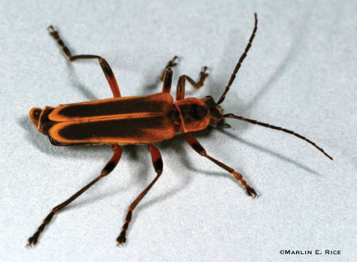 Margined soldier beetle