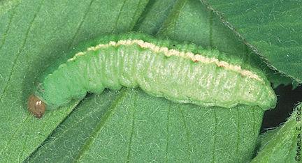 Clover leaf weevil larva