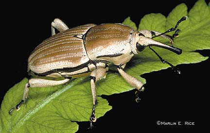 Claycolored Billbug