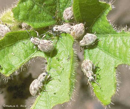 Imported longhorned weevils