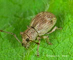 Imported Longhorned Weevil