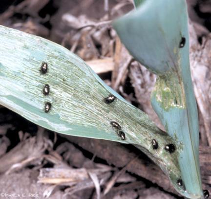Corn Flea Beetles on Leaf