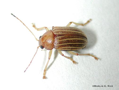 Colaspis beetle