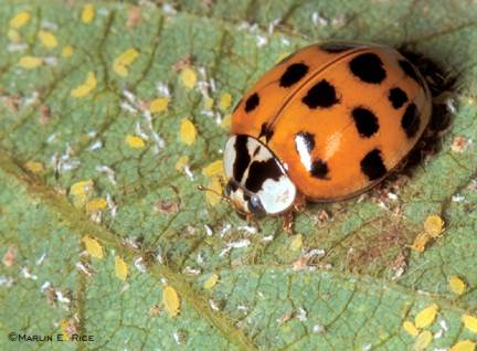 Asian lady beetle feeding on soybean aphids