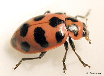 Twelvespotted lady beetle
