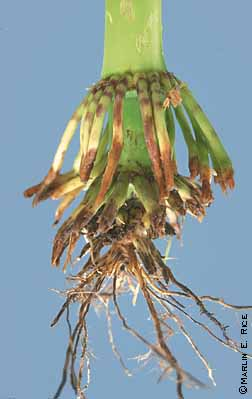 Heavy feeding injury caused by rootworm larvae