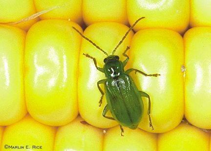 Image result for northern corn rootworm