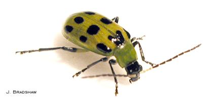 Southern corn rootworm (spotted cucumber beetle)