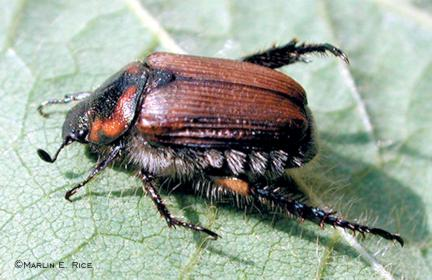 False Japanese beetle