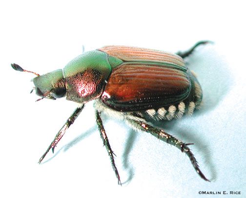 Japanese Beetles Reported in Davenport | Horticulture and Home ...