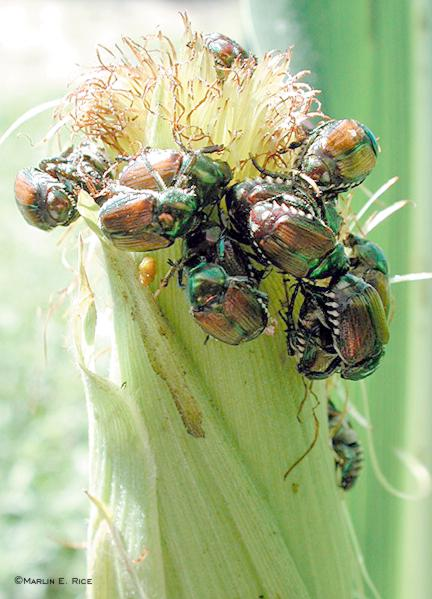Japanese beetles feeding on corn silks