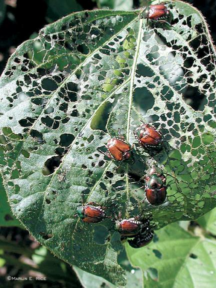 Japanese beetles feeding on soybean leaves