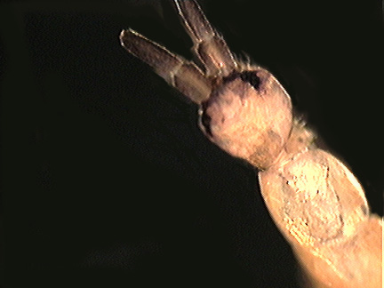 Tomocerus flavescens