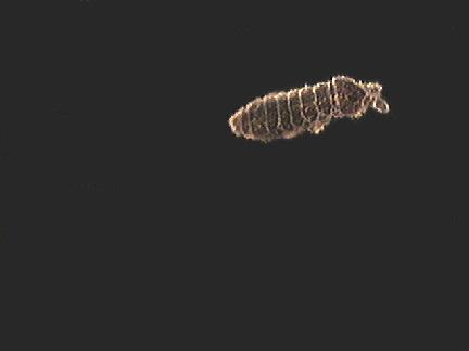 Hypogastruridae