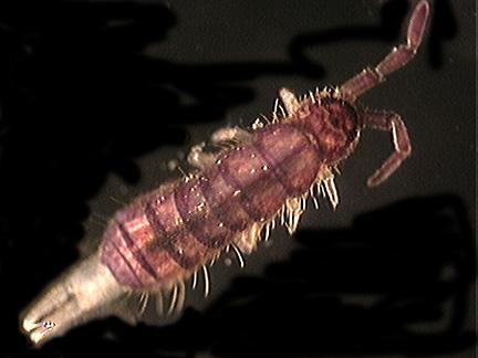 Isotomidae