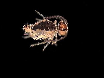 Sminthuridae