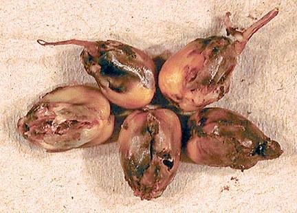 Seedcorn maggot injury