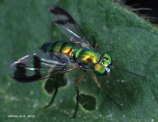 Adult long-legged fly