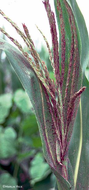 Aphids on corn tassel
