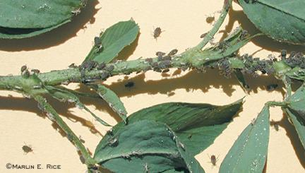 Cowpea aphids on alfalfa stem