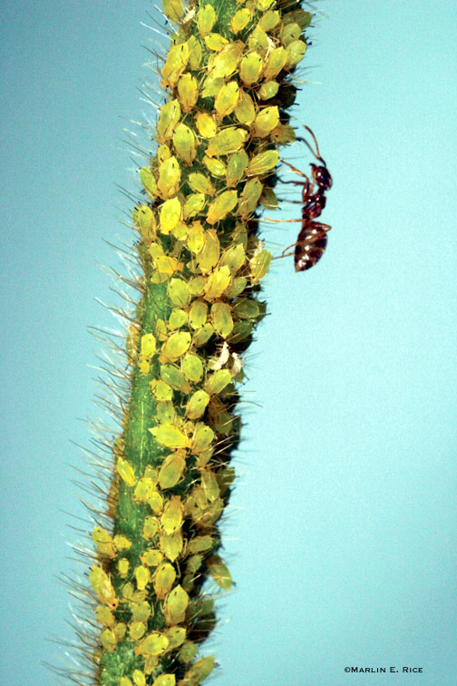 Soybean aphid and ant