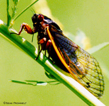 Periodical Cicada (closeup)