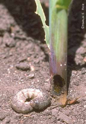 Black cutworm with damage