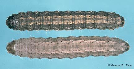 Black cutworm and dingy cutworm