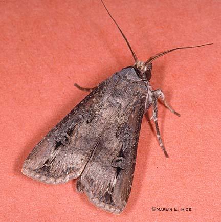 Black cutworm moth (adult)