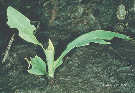 Leaf feeding from cutworm