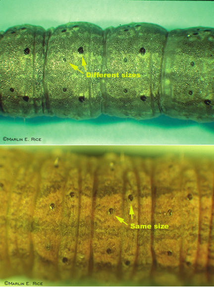 Close-up comparison of black and dingy cutworms
