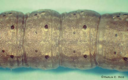 Black cutworm (closeup)