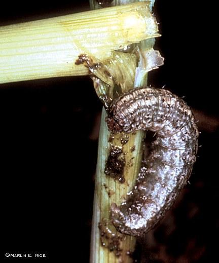 Black cutworm cutting young corn