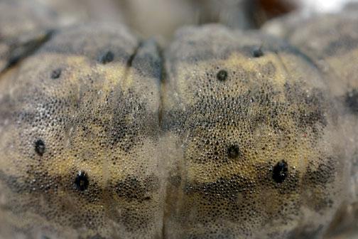 Black cutworm tubercles