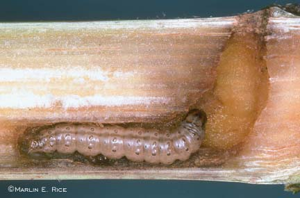 European corn borer tunneling