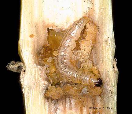 European corn borer stalk tunneling