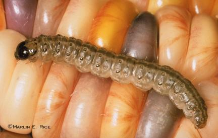 European corn borer larva on corn