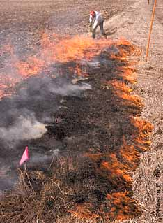 Burning grass to kill stalk borer eggs