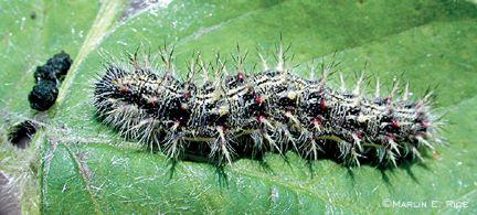 Thistle Caterpillar