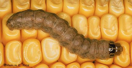 Western Bean Cutworm