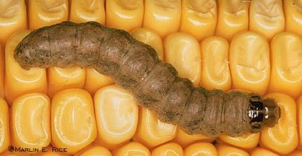 Western Bean Cutworm